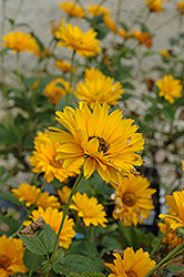 Bressingham Doubloon Sunflower (Heliopsis helianthoides 'Bressingham Doubloon') at Vandermeer Nursery