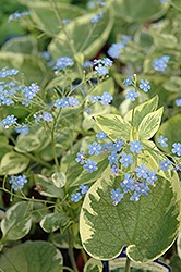 Hadspen Cream Bugloss (Brunnera macrophylla 'Hadspen Cream') at Vandermeer Nursery