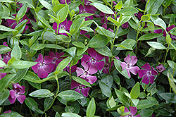 Burgundy Periwinkle (Vinca minor 'Atropurpurea') at Vandermeer Nursery