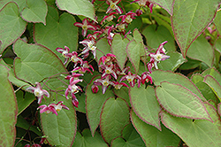 Bishop's Hat (Epimedium x rubrum) at Vandermeer Nursery