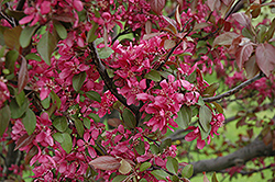 Profusion Flowering Crab (Malus 'Profusion') at Vandermeer Nursery