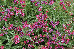 Raspberry Splash Lungwort (Pulmonaria 'Raspberry Splash') at Vandermeer Nursery