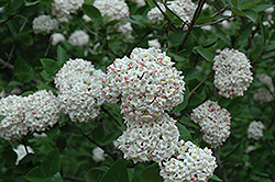 Fragrant Viburnum (tree form) (Viburnum x carlcephalum '(tree form)') at Vandermeer Nursery