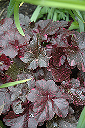 Midnight Rose Coral Bells (Heuchera 'Midnight Rose') at Vandermeer Nursery