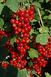 Red Lake Red Currant (Ribes sativum 'Red Lake') at Vandermeer Nursery