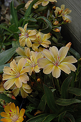 Little Peach Bitteroot (Lewisia 'Little Peach') at Vandermeer Nursery
