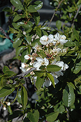 Romeo Cherry (Prunus 'Romeo') at Vandermeer Nursery