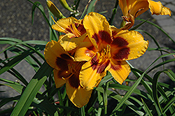 Black Eyed Susan Daylily (Hemerocallis 'Black Eyed Susan') at Vandermeer Nursery