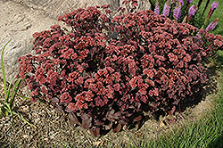 Purple Emperor Stonecrop (Sedum 'Purple Emperor') at Vandermeer Nursery