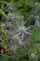 Blue Cap Sea Holly (Eryngium planum 'Blaukappe') at Vandermeer Nursery