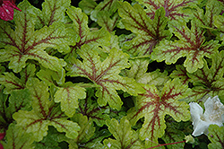 Alabama Sunrise Foamy Bells (Heucherella 'Alabama Sunrise') at Vandermeer Nursery