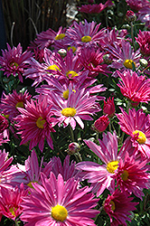 Dark Pink Daisy Chrysanthemum (Chrysanthemum 'Dark Pink Daisy') at Vandermeer Nursery
