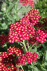 Red Velvet Yarrow (Achillea millefolium 'Red Velvet') at Vandermeer Nursery