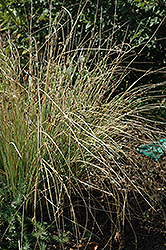Blue Arrows Rush (Juncus inflexus 'Blue Arrows') at Vandermeer Nursery