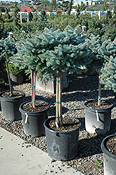 Globe Blue Spruce (tree form) (Picea pungens 'Globosa (tree form)') at Vandermeer Nursery