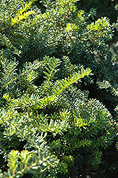Emerald Spreader Yew (Taxus cuspidata 'Emerald Spreader') at Vandermeer Nursery