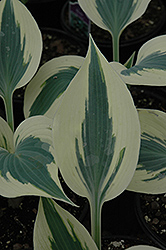 Blue Ivory Hosta (Hosta 'Blue Ivory') at Vandermeer Nursery