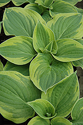 Wide Brim Hosta (Hosta 'Wide Brim') at Vandermeer Nursery