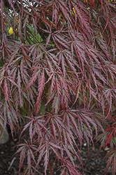 Tamukeyama Japanese Maple (Acer palmatum 'Tamukeyama') at Vandermeer Nursery
