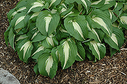 Night Before Christmas Hosta (Hosta 'Night Before Christmas') at Vandermeer Nursery
