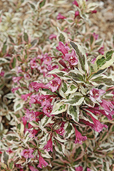 My Monet® Weigela (Weigela florida 'Verweig') at Vandermeer Nursery