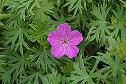 Tiny Monster Cranesbill (Geranium 'Tiny Monster') at Vandermeer Nursery