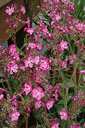 Rolly's Favorite Campion (Silene 'Rolly's Favorite') at Vandermeer Nursery