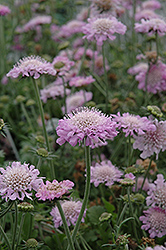 Pink Mist Pincushion Flower (Scabiosa 'Pink Mist') at Vandermeer Nursery