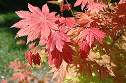 Autumn Moon Full Moon Maple (Acer shirasawanum 'Autumn Moon') at Vandermeer Nursery