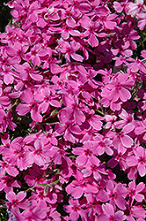 Red Wings Moss Phlox (Phlox subulata 'Red Wings') at Vandermeer Nursery