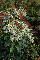 Mountain Fire Japanese Pieris (Pieris japonica 'Mountain Fire') at Vandermeer Nursery