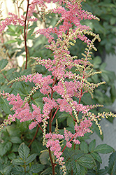 Bressingham Beauty Astilbe (Astilbe x arendsii 'Bressingham Beauty') at Vandermeer Nursery