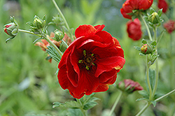Arc En Ciel Cinquefoil (Potentilla 'Arc En Ciel') at Vandermeer Nursery