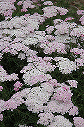 Wonderful Wampee Yarrow (Achillea millefolium 'Wonderful Wampee') at Vandermeer Nursery