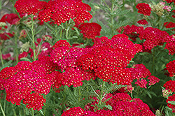 Pomegranate Yarrow (Achillea millefolium 'Pomegranate') at Vandermeer Nursery