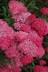 Saucy Seduction Yarrow (Achillea millefolium 'Saucy Seduction') at Vandermeer Nursery