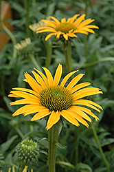 Mac 'n' Cheese Coneflower (Echinacea 'Mac 'n' Cheese') at Vandermeer Nursery