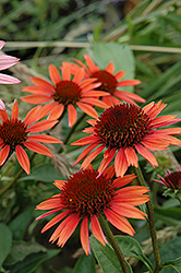 Big Sky Sundown Coneflower (Echinacea 'Big Sky Sundown') at Vandermeer Nursery