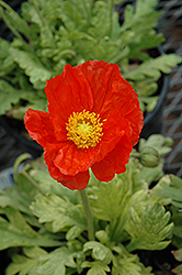 Garden Gnome Poppy (Papaver nudicaule 'Garden Gnome') at Vandermeer Nursery