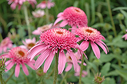 Cone-fections™ Pink Double Delight Coneflower (Echinacea purpurea 'Pink Double Delight') at Vandermeer Nursery