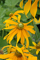 Irish Eyes Coneflower (Rudbeckia hirta 'Irish Eyes') at Vandermeer Nursery