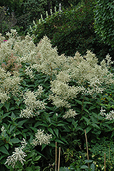 White Fleeceflower (Persicaria polymorpha) at Vandermeer Nursery