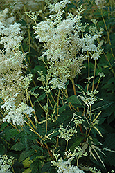 Variegated Queen Of The Meadow (Filipendula ulmaria 'Aureovariegata') at Vandermeer Nursery