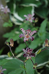 Empress Toad Lily (Tricyrtis 'Empress') at Vandermeer Nursery