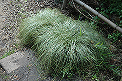 New Zealand Hair Sedge, Frosted Curles (Carex comans 'Frosted Curls') at Vandermeer Nursery