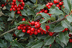 Berri-Magic Meserve Holly (Ilex x meserveae 'Berri-Magic') at Vandermeer Nursery