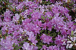 Purple Gem Rhododendron (Rhododendron 'Purple Gem') at Vandermeer Nursery