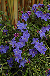 Grace Ward Lithodora (Lithodora 'Grace Ward') at Vandermeer Nursery