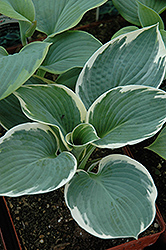 Barbara Ann Hosta (Hosta 'Barbara Ann') at Vandermeer Nursery