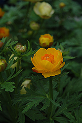 Orange Crest Globeflower (Trollius x cultorum 'Orange Crest') at Vandermeer Nursery